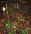 Goodyera oblongifolia 2.jpg