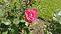 Grandiflora - Governor Rosellini 6 (cr).JPG