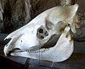 Grantszebra-skull-tobuzoo-oct16-2012.jpg