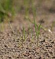 Grashalme crop.jpg