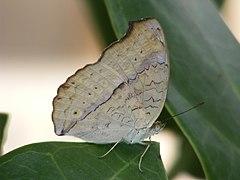 240px gray pansy junonia atlites (3922446344)