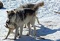 Gray Wolves.jpg