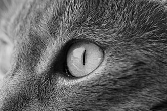 Halftone - Image: Grayscale Cat