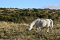 Grazing on Yennadon Down - geograph.org.uk - 1078970.jpg