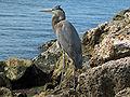 Great Blue Heron (Ardea herodias) RWD.jpg