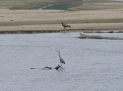 Great Blue Heron and immature Bald Eagle on the Platte River.jpg