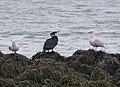 Great Cormorant (Phalacrocorax carbo carbo), Ólafsvík, Iceland.jpg