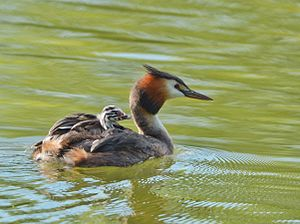 Great Crested Grebe carries her chick on her back.jpg