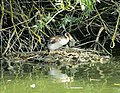Great Crested Grebe with Eggs.jpg