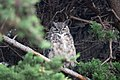 Great Horned Owl Commonweal CA 2018-10-03 15-19-21 (45681717042).jpg