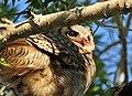 Great Horned Owl on Seedskadee National Wildlife Refuge (26899543254).jpg