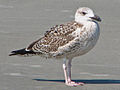 Great black-backed gull, (Larus marinus) RWD1.jpg