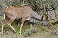 Greater Kudu (Tragelaphus strepsiceros) male (33008118716).jpg