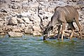 Greater Kudu Water 2019-07-25.jpg