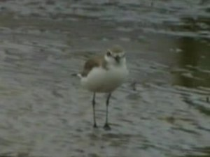 پرونده:Greater Sand Plover wynnum.ogv