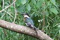 Green Kingfisher-Santa Ana NWR-TX - 2015-05-12at15-19-1720 (21617627671).jpg