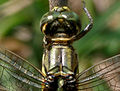 Green Marsh Hawk (Orthetrum sabina) W3 IMG 3462.jpg