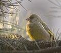 Greenfinch (25154470698).jpg