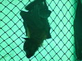 Grey-headed Flying Fox 03.jpg