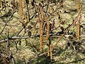 Grey Alder in flower - geograph.org.uk - 724411.jpg
