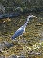 Grey Heron (Ardea cinerea) - geograph.org.uk - 1265344.jpg
