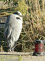 Grey Heron by the Thames, Brentford - geograph.org.uk - 596697.jpg