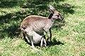 Grey kangaroo with Joey.jpg