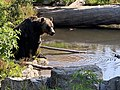 Grizzly on Grouse Mountain 2.jpg