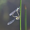 Große Pechlibelle Ischnura elegans Paarungsrad 6358.jpg
