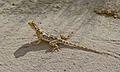 Ground Agama (Agama aculeata) (6451913457).jpg