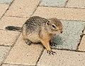 Ground Squirrel (ac337adc-0402-4a58-ad76-fad1a0ce2add).jpg