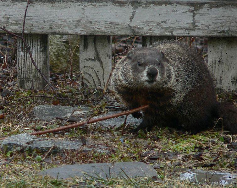 File:Groundhog 2.jpg