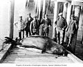 Group of men standing around dead sea lion on dock, vicinity of the lower Columbia River, ca 1900 (INDOCC 635).jpg