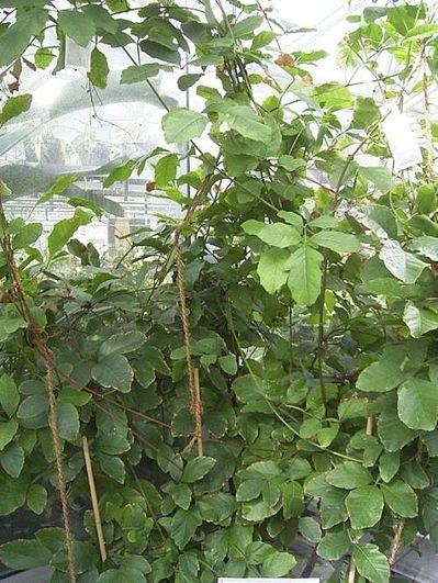 Guaranáplant in een tropische kas