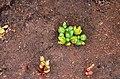 Gunniopsis septifraga.jpg
