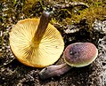 Gymnopilus purpuratus group 613209.jpg