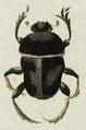 Gymnopleurus mopsus.png