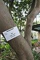 HK CWB 高士威道 Causeway Bay Road 維多利亞公園 Victoria Park tree trunk 木棉樹 Bombax ceiba Sept 2017 IX1 01.jpg