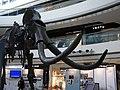 HK Central IFC mall exhibition 02 長毛象 Mammoth bones April-2012 象牙 Ivoy.JPG