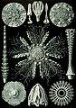 Haeckel Echinidea 60.jpg