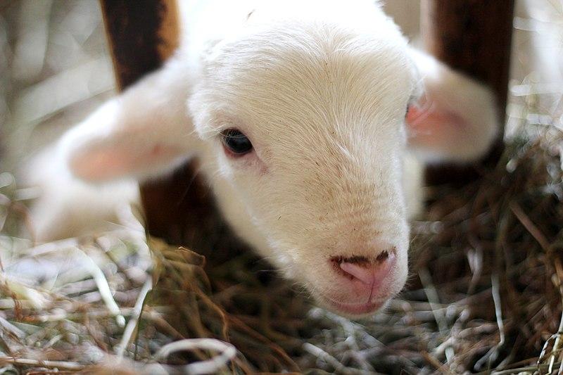 File:Hancock Shaker Village lamb (Unsplash).jpg