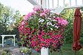 Hanging basket IMG 0165.jpg