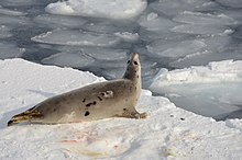 the white seal summary