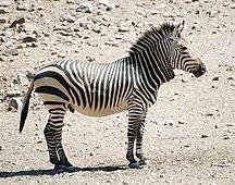 Namibia-Mammiferi-hartmann zebra hobatere S