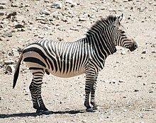 https://upload.wikimedia.org/wikipedia/commons/thumb/1/12/Hartmann_zebra_hobatere_S.jpg/220px-Hartmann_zebra_hobatere_S.jpg