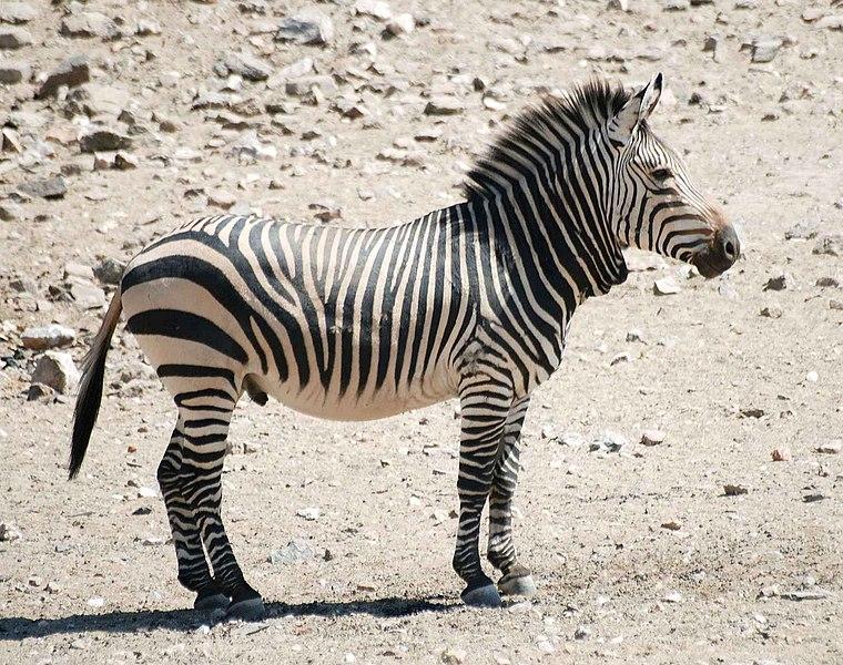 File:Hartmann zebra hobatere S.jpg