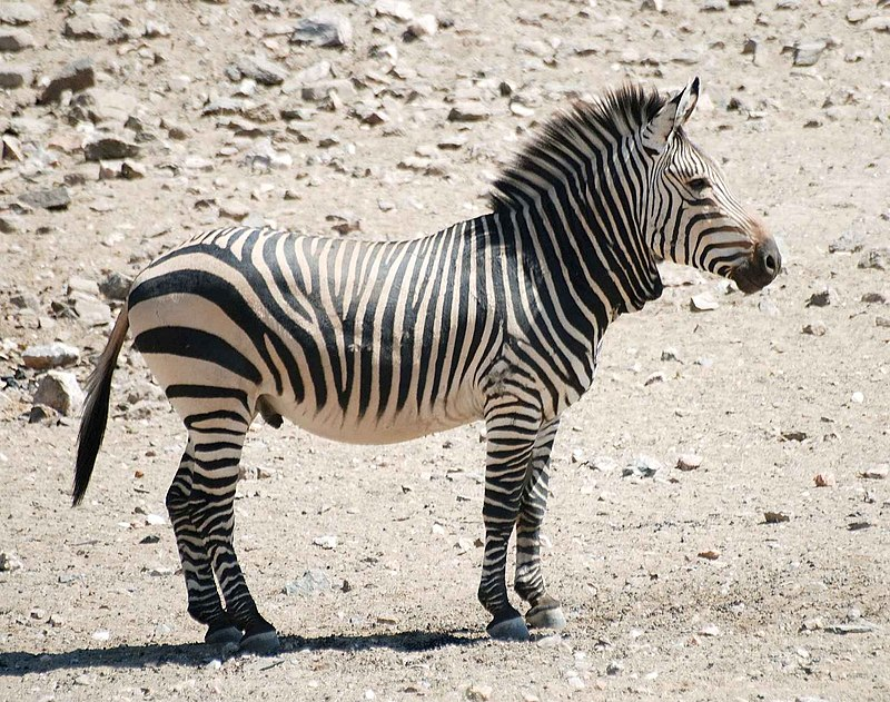 The cute-looking Mountain Zebra is a threatened species endemic to