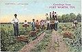 Harvesting Cantaloupes (20106808).jpg