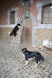 Haversin (Belgium), two border collies of the ...