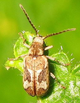 Fan-bearing wood-borer, Hedobia imperialis